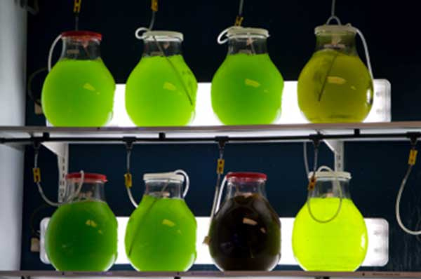 Renewable Energy: Biomass Algae Flasks